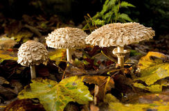Shaggy Parasol Mushrooms Stock Photo