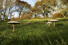 Shaggy Parasols. Ground level view of shaggy parasol mushrooms in a grassy field Stock Photography