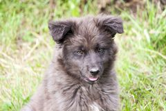 Shaggy puppy sitting on the grass Royalty Free Stock Images