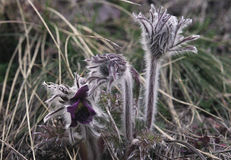 Shaggy purple wild flowers primroses Stock Photo