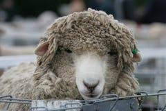 Shaggy Schafe in den Federn lizenzfreie stockfotografie