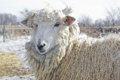 Shaggy sheep Stock Image