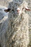 Shaggy sheep royalty free stock images