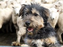 Shaggy Sheep Dog Stock Images