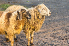Shaggy sheep Stock Photo