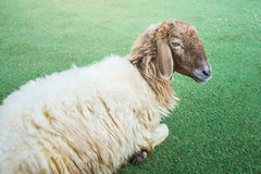 Shaggy sheep on the grass floor Stock Image