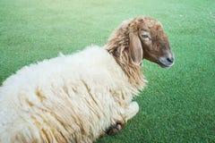 Shaggy sheep on the grass floor Stock Image