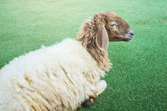 Shaggy sheep on the grass floor Stock Photography