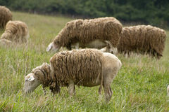 Shaggy Sheep Graze Together Peacefully Photo stock