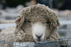 Shaggy sheep in the pens. A very shaggy sheep in the sheep pens at a stock show. Shallow DOF royalty free stock photography