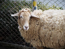 Shaggy sheep royalty free stock image