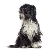 Shaggy Shih Tzu questioning (9 months old) Royalty Free Stock Images
