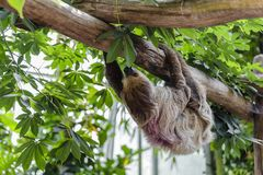 Shaggy sloth hanging upside down Stock Photos