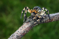 Shaggy spider Stock Images