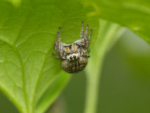 Spider on a green leaf Stock Image