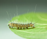 Shaggy vermin caterpillar on leaf edge Royalty Free Stock Images