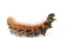 Shaggy vermin caterpillar Royalty Free Stock Image