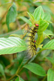 Shaggy vietnamese caterpillar. Creeping on leaf stock images