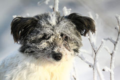 Shaggy white dog in hoarfrost Stock Image