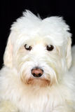 Shaggy White Dog looks cute Royalty Free Stock Image