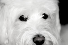 Shaggy White Dog looks cute Stock Images
