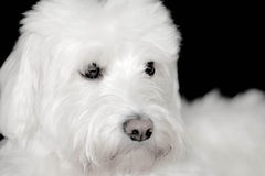 Shaggy White Dog olha bonito Fotografia de Stock Royalty Free