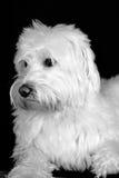 Shaggy White Dog schaut nett Stockbild