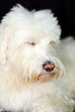 Shaggy White Dog schaut nett Stockfotos