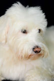 Shaggy White Dog schaut nett Lizenzfreie Stockfotos