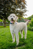Shaggy White Labradoodle Royalty Free Stock Photography