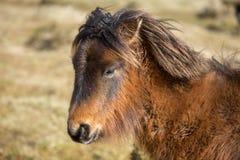 Shaggy Wild Moorland Pony Bodmin hed, Cornwall arkivfoton