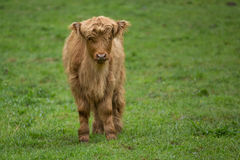 Shaggy yak in Norway Royalty Free Stock Images