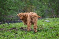 Shaggy yak Stock Photos