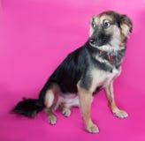 Shaggy yellow dog sits on pink Stock Photo