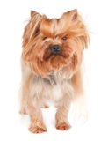 Shaggy yorkie Royalty Free Stock Image