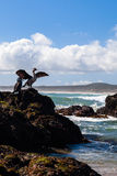 Shags βασιλιάδων της Νέας Ζηλανδίας σε έναν βράχο Στοκ φωτογραφίες με δικαίωμα ελεύθερης χρήσης