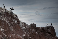 Shags on Bass Rock   Royalty Free Stock Photo