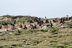 Shags, Farne Islands Nature Reserve, England Stock Image