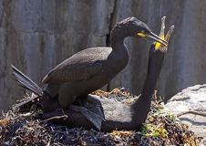 Shags at Mating Time Royalty Free Stock Image