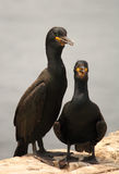 Shags, Phalacrocorax Aristotelis Stock Photos