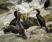 Shags. Youngster and adults. Shags.Youngster and Adults. Seabird at the Farne Islands. Northumberland. England Royalty Free Stock Images