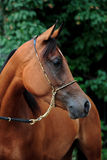 Shagya Arabian horse Stock Image