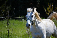 Shagya Arabian Horse Royalty Free Stock Images