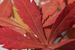 Shaina鸡爪枫(Acer palmatum) 图库摄影