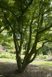 Shaina Japanese Maple (Acer palmatum) Royaltyfria Bilder