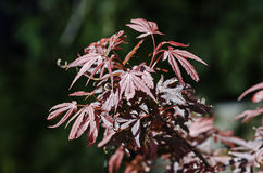 Shaina Japanese Maple (Acer-palmatum) Lizenzfreie Stockfotos