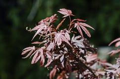 Shaina Japanese Maple (Acer-palmatum) Lizenzfreie Stockfotos
