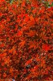 Shaina Japanese Maple (Acer-palmatum) Lizenzfreie Stockfotografie