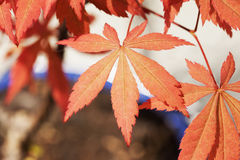 Shaina Japanese Maple (Acer-palmatum) Stockfoto