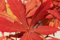 Shaina Japanese Maple (Acer-palmatum) Lizenzfreie Stockbilder